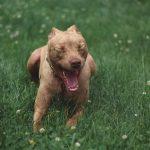 Nombres de perros Pitbull-opt